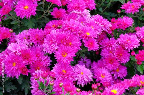 Foto auf AluDibond Rosa Purple chrysanthemum buds in nursery and garden shop. Chrysanthemum wallpaper. Floral bright blooming background. Close up.