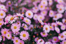 Pink Flowers Of Autumn Asters. Floral Background
