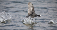 Single Red Knobbed Coot Running On Water Of A Pond With A Splash