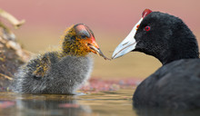 Red-knobbed Coot Chick Is Fed ...