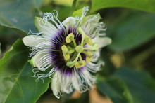 Flower Of Passion Fruit