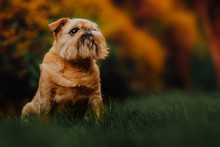 Brussels Griffon Dog Walks In The Green Forest On The Street