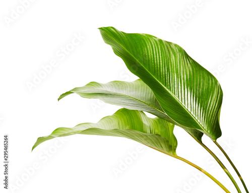 Foto auf Leinwand Garten Calathea foliage, Exotic tropical leaf, Large green leaf, isolated on white background with clipping path