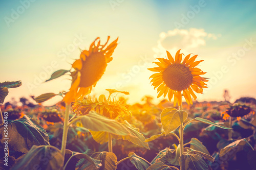 sunflower-field-at-sunset