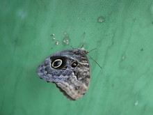 A Large Butterfly With A Coloring Similar To The Eye Of An Owl, With Folded Wings On A Green Background . Tropics Exotic Butterfly Eyes. Owl Butterfly. Caligo Eurilochus.
