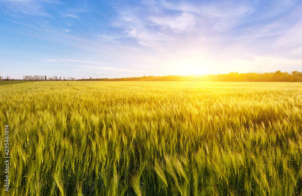 Fototapety, obrazy: Field of green wet grass and colorful sunset.