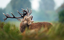 Red Deer Stag Calling During R...