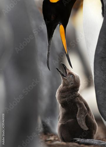 Fényképezés  Close up of a King penguin feeding a chick