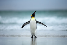 King Penguin Standing On The Coasts Of Atlantic Ocean