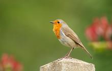 Close Up Of A Garden Bird Euro...