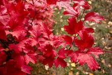 Red Viburnum Leaves. Autumn Su...
