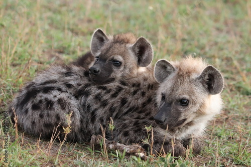 Papiers peints Hyène Spotted hyena cubs sleeping against each others, Masai Mara National Park, Kenya.