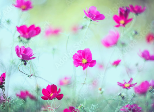 beautiful natural background with pink flowers cosmea bloomed in the garden