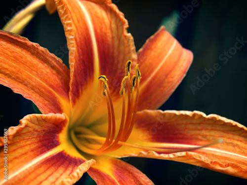 Beautiful orange lily flower shot in the garden closeup. Wallpaper Mural