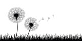 Fototapeta Dmuchawce - two dandelion silhouette with flying seeds on meadow vector illustration EPS10