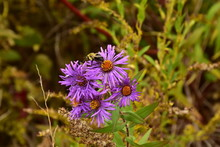 Purple Aster Flowers With Honey Bee