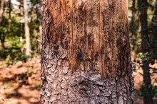Sterbender Baum Im Deutschen Wald