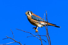 American Kestrel (Falco Sparverius) Perched On A Branch