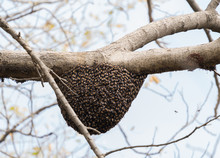 Indian Bees Nest