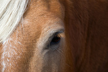 Close-up Of A Beautiful Friendly Chestnut Horse