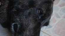Close Up Sleepy Dog Lying On T...