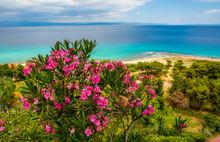 Oleander Flower On The Beach In Greece
