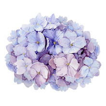 Tender Hydrangea Flower Watercolor Illustration. Light Blue With Pink Full Blooming Elegant Garden Bush.  Romantic Natural Beautifull Blossoms Isolated On White Background.
