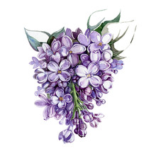 Violet Lilac Bunch With Flowers And Leaves Watercolor Illustration. Hand Drawn Purple Syringa Tender Flowers In A Full Bloom With Buds. Isolated On White Background.
