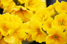Fancy A Greater Amount Of Early Evening Primrose Flowers And The Announcement Of The Arrival Of Spring.