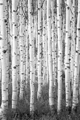 Fototapeta Brzoza Surreal black adn white aspen glade in the Wasatch Mountains, Utah, USA.