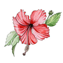 Red Hibiscus Watercolor Illustration. Hand Drawn Tropical Exotic Blooming Flower With Green Leaves And Buds. Paradise Scarlet Herb Bush Isolated On White Background.
