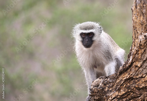 Photo  wild velvet monkey in Kruger National Park, South Africa.
