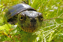 Europäische Sumpfschildkröte Guckt In Die Kamera, Emys Orbicularis, Als Weitwinkelfoto Mit Lebensraum
