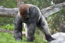 Western Lowland Gorilla In The Outdoors