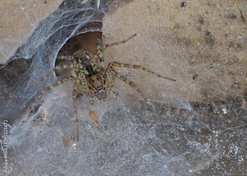 Fotografie, Obraz Die Winkelspinne, Tegenaria atrica, sitzt in ihrem Netz und lauert auf Beute