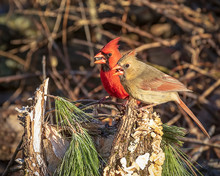 Male And Female Northern Cardinal Dining Out.