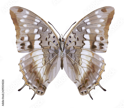 Obraz na plátně  Butterfly Charaxes catochrous (underside) on a white background