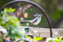 Mockingbird Neighbor On The Fence