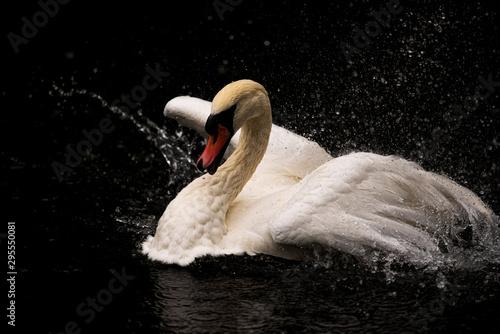 Spoed Fotobehang Zwaan Mute swan