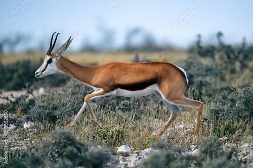 Foto op Aluminium Antilope Young springbok walking in the savannah.