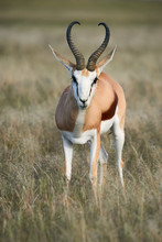 Adult Male Springbok Walking I...