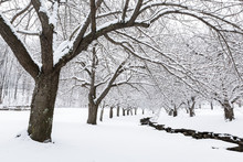 Winter Time In Hurd Park, Dover, New Jersey With Snowy Cherry Trees.
