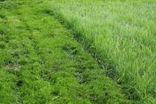 A Strip Of Mowed Lawn Against Tall Grass