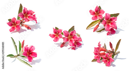 Picture of isolate 5 pink azalea flowers