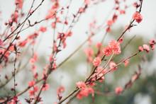 Pink Plum Tree Flower In Bloom