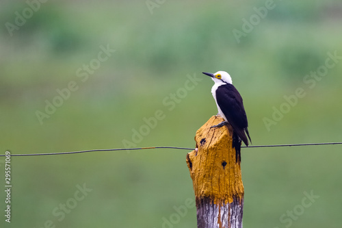 White Woodpecker perching on a yellow painted wooden fence post against defocuse Canvas-taulu