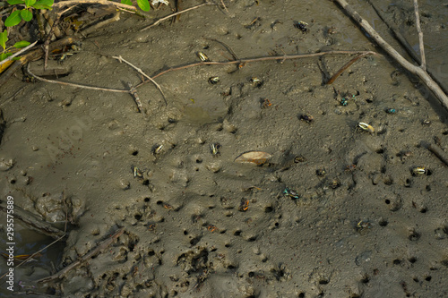 Many Fiddler Crab (Uca forcipata) or Ghost crab emerging from its burrow and walking on mudflats in mangrove forest during low tide Canvas Print
