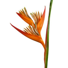 Heliconia Psittacorum Flower, Tropical Orange Flower Isolated On White Background, With Clipping Path