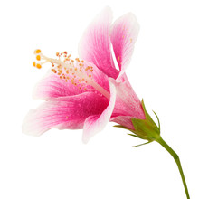 Hibiscus Or Rose Mallow Flower, Tropical Pink Flower Isolated On White Background, With Clipping Path