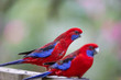 Crimson Parrot in Australia